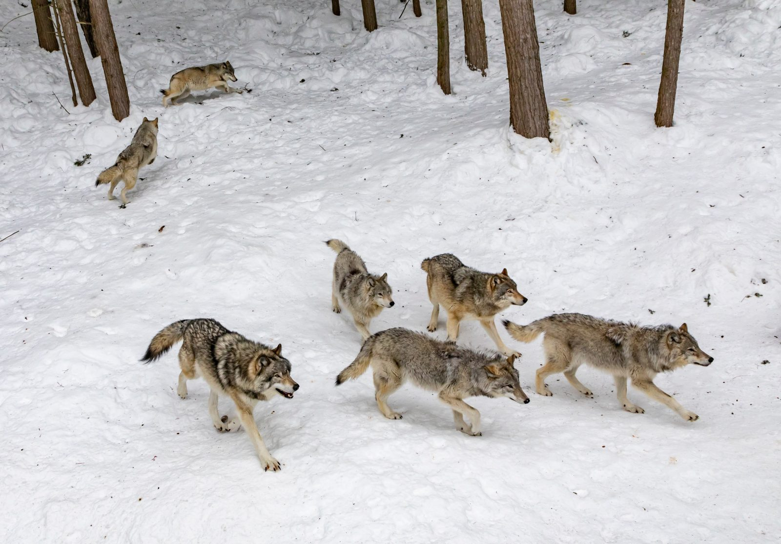 Administration intent on keeping ranchers happy and wolf numbers down