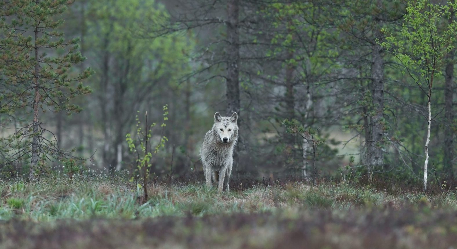 Trump Administration Removes Federal Protections for Gray Wolves